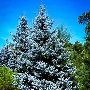 300 голубых елей будут высажены при поддержке БФ «Сафмар» Михаила Гуцериева в парке г.Орска