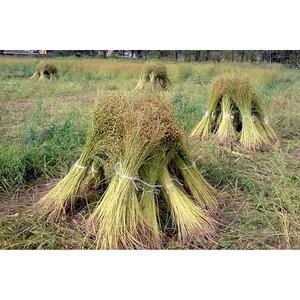 В Брянской области продолжает развиваться льноводство.