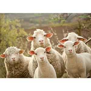 Забайкалье на Сибирско-Дальневосточной выставке овец и коз в Улан-Удэ представят 11 хозяйств