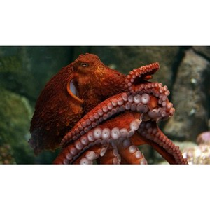 Показано, что щупальца осьминога сами решают, как двигаться