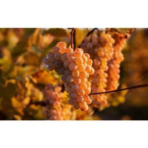 В СевГУ создан первый в России университетский полигон элитного виноградарства