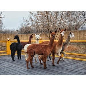 Семейный парк Сказка откроет локацию «Альпака Парк» в Москве