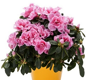 Дар эльфов в «Твоем доме» - цветок азалия