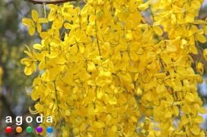 Спецпредложения от agoda.com на отели в Чиангмае во время Королевской выставки цветов Royal Flora Expo 2011