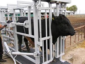 Два в одном: Весы для взвешивания животных и станок для ветеринарных работ
