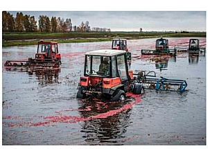Трактора «Беларус-320» освоили уборку клюквы