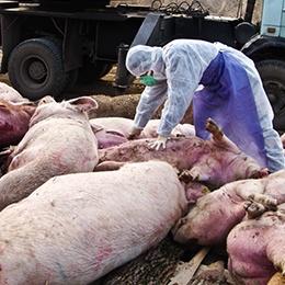 Ситуация со свининой станет лучше?