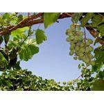 В Киевском ботаническом саду появится виноградная аллея
