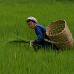 Китайцы перестали кушать рис