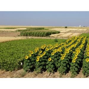Превышена площадь высева подсолнечника на землях сельскохозяйственного назначения