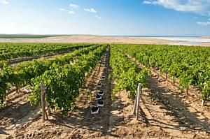 Агрофирма «Южная» вновь стала лидером по выращиванию винограда в России