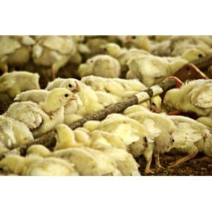 По итогам 2011 года производство мяса птицы выросло на 7%