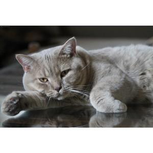 Доска-объявлений «Петео» открыла крупный раздел по продаже британских кошек
