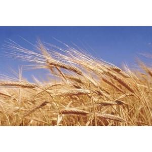 В Воронежской области хранили зерно ненадлежащим образом