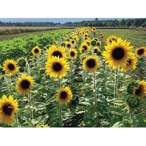 При выращивании подсолнечника допустимые нормы превышены