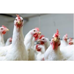 Специалисты из разных стран расскажут, чем кормят сельскохозяйственную птицу