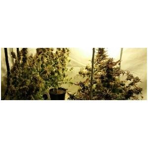 Полицейские Зеленограда изъяли в квартире у местного жителя более 3 килограммов марихуаны