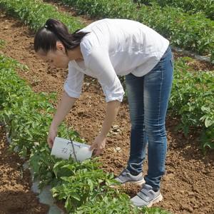Мониторинг томатной моли продолжается в Волгоградской области
