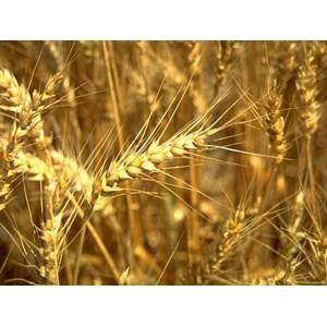 О нарушении законодательства в области качества и безопасности зерна