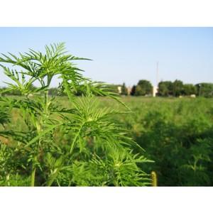 В Воронежской области вновь выявлены очаги произрастания амброзии полыннолистной