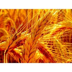 О работе Управления Россельхознадзора по Воронежской области в сфере надзора за безопасностью зерна