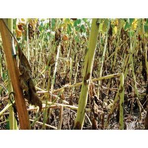 О выявлении карантинных объектов в крупных партиях сельхозпродукции