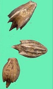 Обнаружена амброзия трехраздельная в 21 партии подсолнечника продовольственного