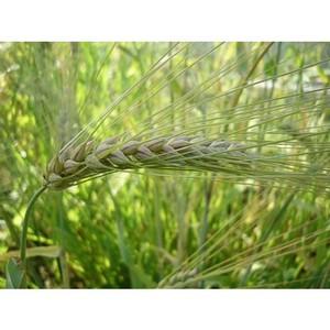 Зерно реализовывали без декларации о соответствии