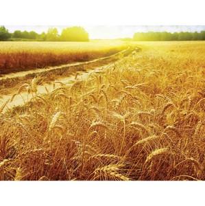 В хозяйстве Петропавловского района Воронежской области с нарушением высеяны семена озимой пшеницы