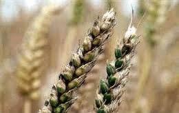 Опасная головня пшеницы
