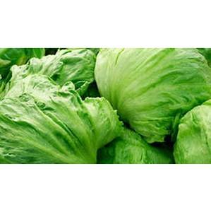 Испанский салат латук заражен трипсом