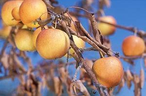 Испытания по выявлению бактериального ожога плодовых провели в Астраханской области