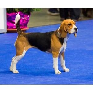Бигль - самая семейная собака для квартиры