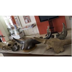 Омские таможенники передали музею фрагменты ископаемых животных
