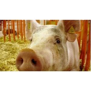 О мониторинге эпизоотической ситуации по африканской чуме свиней в Ярославской области за 2014 год
