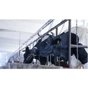 Агрохолдинг «Союз Маринс Групп» приобрел 200 голов высокодойных коров