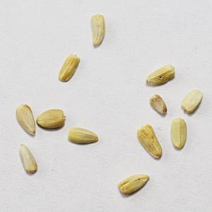 Почти 13 тонн пшеницы были заражены горчаком