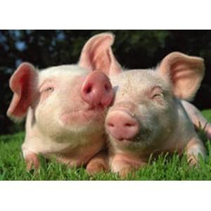 О транспортировке живых свиней с нарушением ветеринарного законодательства