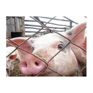 О выявлении генома вируса АЧС в свиноводческой продукции из Республики Беларусь