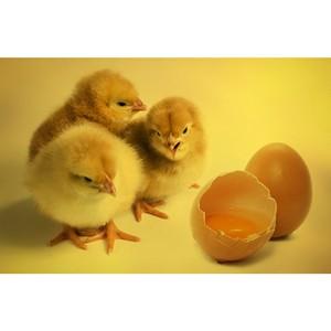 V Международная конференция «Развитие яичного и мясного птицеводства» состоится в Москве