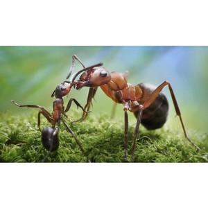 Черные муравьи в квартире и на даче.