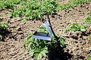 Волгоградская область следит, не приближается ли картофельная моль?