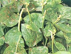 Чужеродный вид – томатный листовой минер