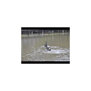В коттеджный поселок «Новые Вешки» прилетели черные лебеди