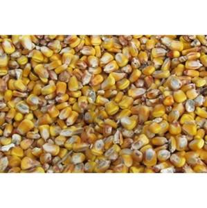 Амброзия трехраздельная обнаружена в кукурузе