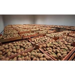 Предпосевная подготовка картофеля — профилактика картофельной моли