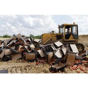 В Брянской области уничтожили более 20 тонн «санкционных» яблок