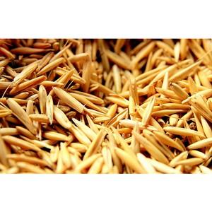 На элеваторе Хохольского района выявлены нарушения условий хранения зерна