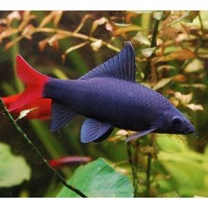 Купить аквариумных рыбок в Интернете просто
