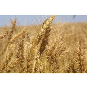 Совсем не годится, как зерно хранится!